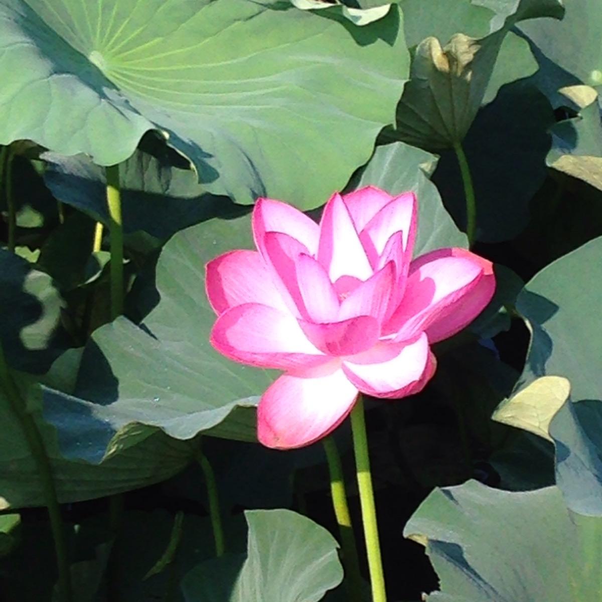 蓮は朝花開く。今朝その美しい蓮を見てきました。大網白里市の新スポットですね。