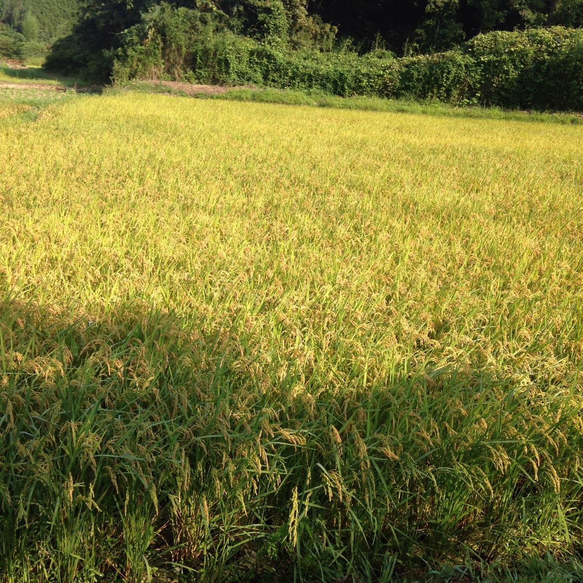 千葉は関東一の早場米の産地。たわわに実った稲穂が黄金色に、もうすぐ稲刈りが始まります。